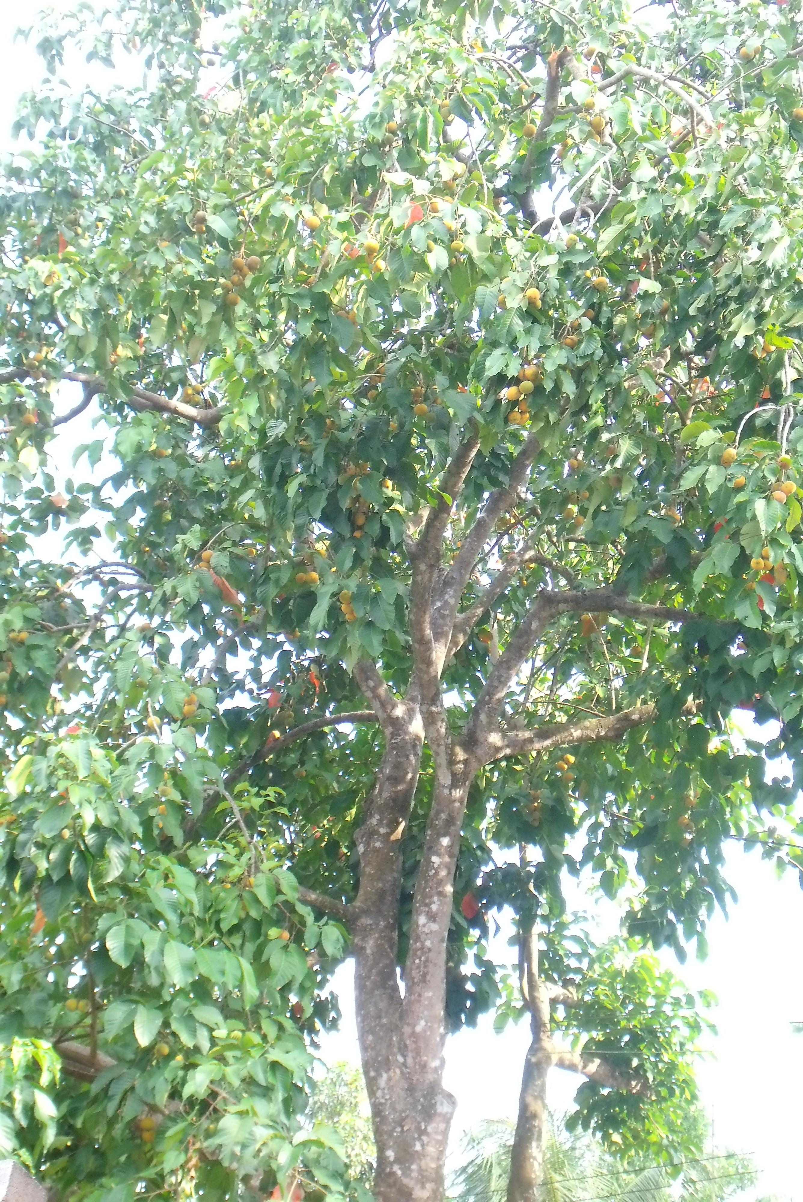 Santol Tree | Shaineys...
